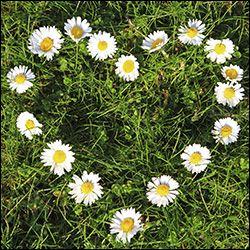 сердцечко из цветов ромашек