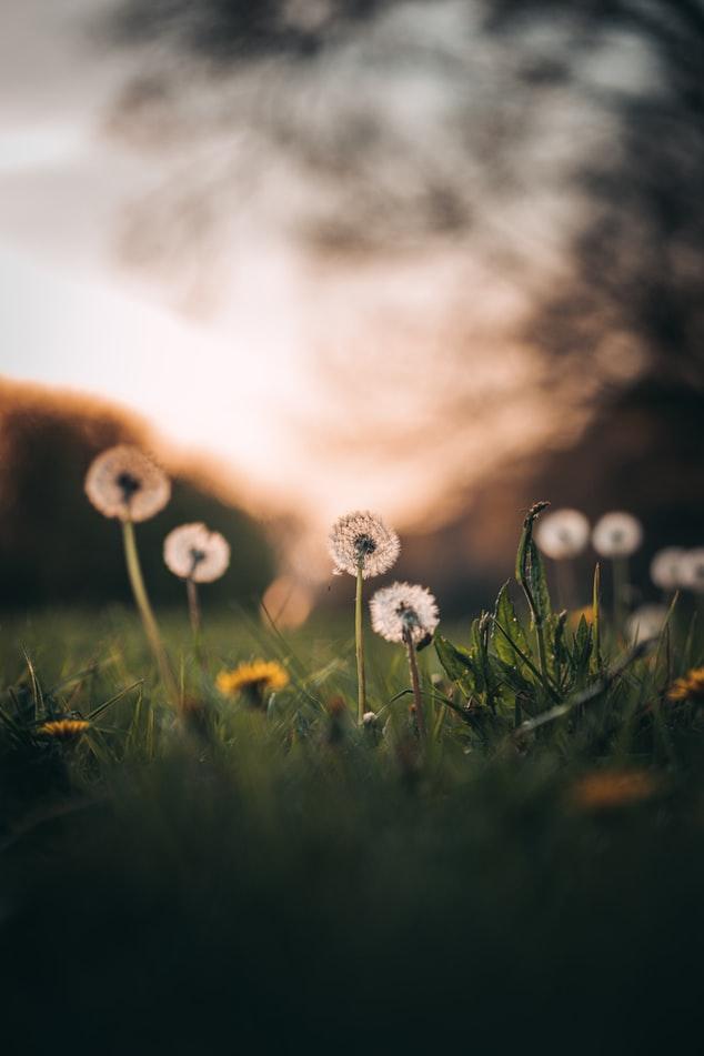 красивая фотография поля одуванчиков